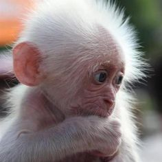 Adorable Baby Leucistic Monkey
