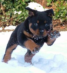 #Rottweiler puppy #rottweilerpuppy