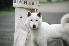 紀州犬(KISYUINU)