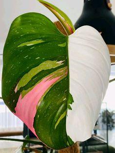 Indoor Trees, Best Indoor Plants, Unique Plants, Rare Plants, Black Leaves, Green Leaves, Evergreen Climbing, Studio Apt, Leaf Texture