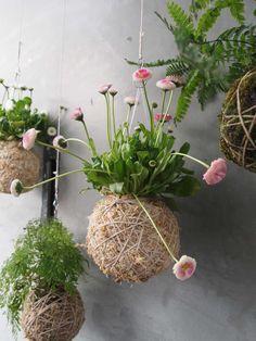 pink flowering Bellis perennis and various Ferns