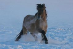 Yakutian horse is a native breed in the Sakha Republic (Yakutia), Russia's Siberia. They are perfectly adopted to the extreme cold conditions. They don't spend winter days indoor. They are always outdoor searching food (grasses) under snow.
