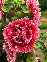 Hollyhock Fiesta Time