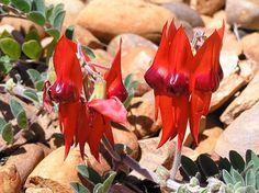 Swainsona formosa - Wikipedia, the free encyclopedia