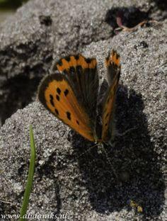 vlindertje in de polder