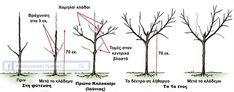 Κλάδεμα διαμόρφωσης σε νεαρά δέντρα ροδακινιάς