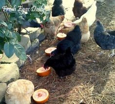 Preventatives: Pumpkin seeds, garlic, nasturtium (and also apple cider vinegar 1 Tbs to 1 gallon water) Natural wormers from Fresh Eggs Daily®