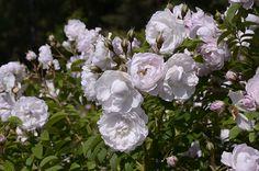Uusia suomalaisia ruusuja -1