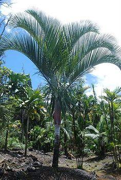 Dypsis saintelucei (Sainte-Luce Palm) - native to Madagascar - grows to 9m
