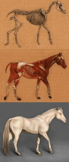 This is a study of animal anatomy, the final rendering done in Photoshop. I think it would be great to add armor to my horse Horse Anatomy Anatomy Drawing, Anatomy Art, Horse Drawings, Animal Drawings, Pretty Horses, Beautiful Horses, Anatomy Reference, Art Reference, Horse Anatomy