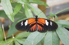 oranje zwarte vlinder