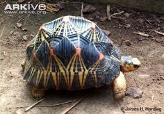 The Radiated Tortoise (Astrochelys radiata) of Madagascar is one of the most attractive of all the tortoises. The high-domed, dark carapace is marked by brilliant yellow lines that radiate from the centre of each plate and create this tortoise's distinctive pattern. (23 photos & 4 videos)