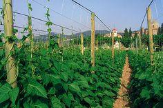 Resultado de imagen de cómo sujetar plantas de tomates en jardineras Vineyard, Outdoor, Tomato Plants, Window Boxes, Tomatoes, Outdoors, Outdoor Games