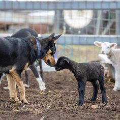 Now little fella if you remember to do everything I say to make me look good in front of the hoomans then we'll get along just fine! Australian Sheep Dogs, Australian Shepherd, Horses And Dogs, Dogs And Puppies, Cute Funny Animals, Cute Dogs, Farm Dogs, Work With Animals, Family Dogs