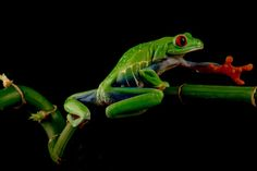 The beautiful red eye tree frog reaching out