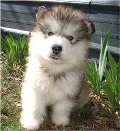 Giant Alaskan Malamute. Dream pup pup. As cute as a butterfly.
