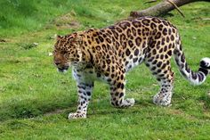 In this article, you can know comparison, difference and similarity between Leopard vs Hyena. We compare spotted hyena vs Leopard- who will win the fight. Amur Leopard Facts, Nature Blogs, Life In Russia, Forest Habitat, Rare Cats, Exotic Cats, Chinese New Year Crafts, Art Japonais, Rare Animals