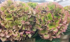 #Hydrangea #GlowingAlpsClassic; Available at www.barendsen.nl