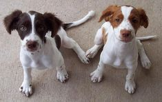 How To Potty Train A Brittany Puppy - Brittany House Training Tips - Housebreaking Brittany Puppies Border Terrier, Cairn Terrier, Clumber Spaniel, Springer Spaniel, Spaniels, Cocker Spaniel, Cute Puppies, Cute Dogs, Dogs And Puppies