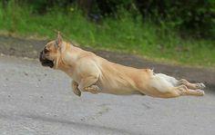 """Wheeeeeee!"", airborne French Bulldog ❤️"