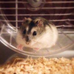 Herman the dwarf hamster