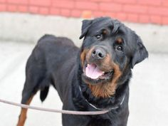 ZIGGY – A1075935 MALE, BLACK / BROWN, ROTTWEILER MIX, 2 yrs OWNER SUR – AVAILABLE, NO HOLD Reason NO TIME Intake condition UNSPECIFIE Intake Date 06/01/2016, From NY 11422, DueOut Date 06/01/2016