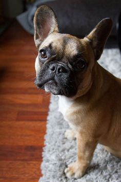 French Bulldog Puppy, photo by Laura Lövgren on Flickr