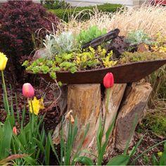 Stump (I fell the dead eucalyptus trees with my chainsaw by myself!! So badass!), tulips & salvaged wheel barrow succulent planter.