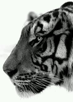 B tiger tiger tiger