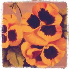 Orange n brown Pansies