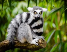 The Most Adorable Ring Tailed Lemur