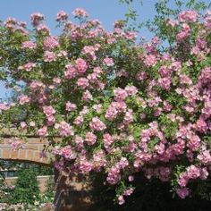 Kew Rambler - David Austin Roses- Will ich haben!