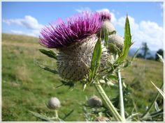Hey, I found this really awesome Etsy listing at http://www.etsy.com/listing/103513873/thistle-kuchl-alm-austria-8-x-10-fine