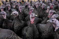 Turkey Breeds, Black Turkey, Turkey Farm, Flu Outbreak, Chickens For Sale, Bird Flu, Laying Hens, Modern Games, Goat Farming