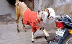 Fashion Week: Goats in Sweaters, Part Deux - http://modernfarmer.com/2014/02/fashion-week-goats/?utm_source=PN&utm_medium=Pinterest&utm_campaign=SNAP%2Bfrom%2BModern+Farmer