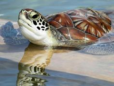 Sea Turtle http://www.southamericaperutours.com/southamerica-information.html