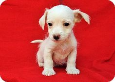 Burbank, CA - Terrier (Unknown Type, Small)/Tea Cup Poodle Mix. Meet Ralph, a puppy for adoption. http://www.adoptapet.com/pet/14255572-burbank-california-terrier-unknown-type-small-mix
