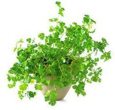 koriandr Medicinal Herbs, Korn, Herb Garden, Herbs Garden