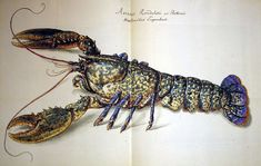 Claude Aubriet, lobster