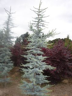 Blue Atlas Cedar - Love the colors & height variation of the plants japanesegardenwall japanesegardenideas japanesegardendesign Corner Landscaping, River Rock Landscaping, Privacy Landscaping, Landscaping With Rocks, Garden Landscaping, Landscaping Ideas, Evergreen Landscape, Evergreen Garden, Garden Trees