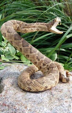 RATTLESNAKES AT A SUBURBAN HOUSES AT CALIFORNIA ENDS UP REMOVING THEM!