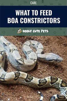 30 Best Boa Constrictors Images In 2020 Boa Constrictor Boa Reptile Habitat