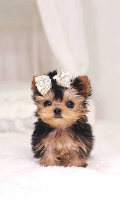 Yorkshire Terrier by KimsKennel US Cute Baby Dogs, Baby Animals Super Cute, Cute Little Puppies, Cute Little Animals, Cute Dogs And Puppies, Cute Funny Animals, Puppies Puppies, Baby Animals Pictures, Cute Animal Pictures