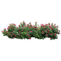 15 Cool Images of 23 Plants Bushes And PSD Templates. Awesome 23 Plants Bushes and PSD Templates images. Photoshop Plants and Shrubs Photoshop Plants and Shrubs Photoshop Plants and Shrubs Photoshop Transparent Trees and Shrubs Flowers Plants Photoshop Cut Out Photoshop, Tree Photoshop, Landscape Elements, Landscape Architecture, Landscape Design, Tree Psd, Pinterest Garden, Png Photo, Rose Bush