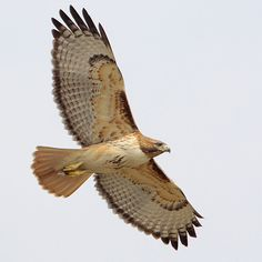 Red Tailed Hawk:  Adult (light morph). Note: dark leading edge to wing.