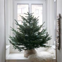 (WEIHNACHTSBAUM)  ... steht. Seine Rückseite ist ziemlich kahl. Für uns perfekt. ... für die Nachbarn nicht so. 😬  .  #baumgerettet #wolltesonstkeiner #fürunsperfekt #unserbaum #weihnachtsbaum #unperfektistperfekt #naturpur #littletree #erkerbank #christmastree #interiordesign #interiorforyou #interiorforinspo #christmastime #altbauliebe #simpleandpure #authenticliving #meinachten #meinikea