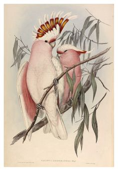 Major Mitchell Cockatoo - John Gould. I have a print of this I bought in Paris!
