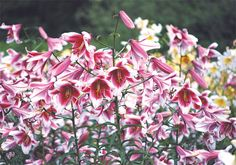 'Silk Road' () is our most popular lily, delighting gardeners all over the world! It has huge white flowers with deep, intensely crimson pink throats, carried on an enormous inflorescence with many well-spaced secondary buds for extended blooming time. All this, and a wonderful, powerful fragrance too! 'Silk Road' won the Popularity Poll four years in a row, and is now part of the Lilium Hall of Fame!  4 to 6 feet and taller when established, mid July to early August.