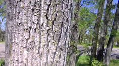 Cottonwood Tree ID video. Helpful when using the notebooking pages found here (https://www.pinterest.com/pin/245375879674308753/) for the Sonlight Core D book, Tree in the Trail.