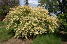 Acer palmatum 'Sister Ghost'- White deeply divided leaves with a distinct pale green vein. Heavily serrated and ruffled with a rosy pink tip at emergence.  Graceful wide, cascading form. Needs protection from afternoon sun.  Landscape Height: 6 ft. Container height: 4 ft. Minimum Zone: 6